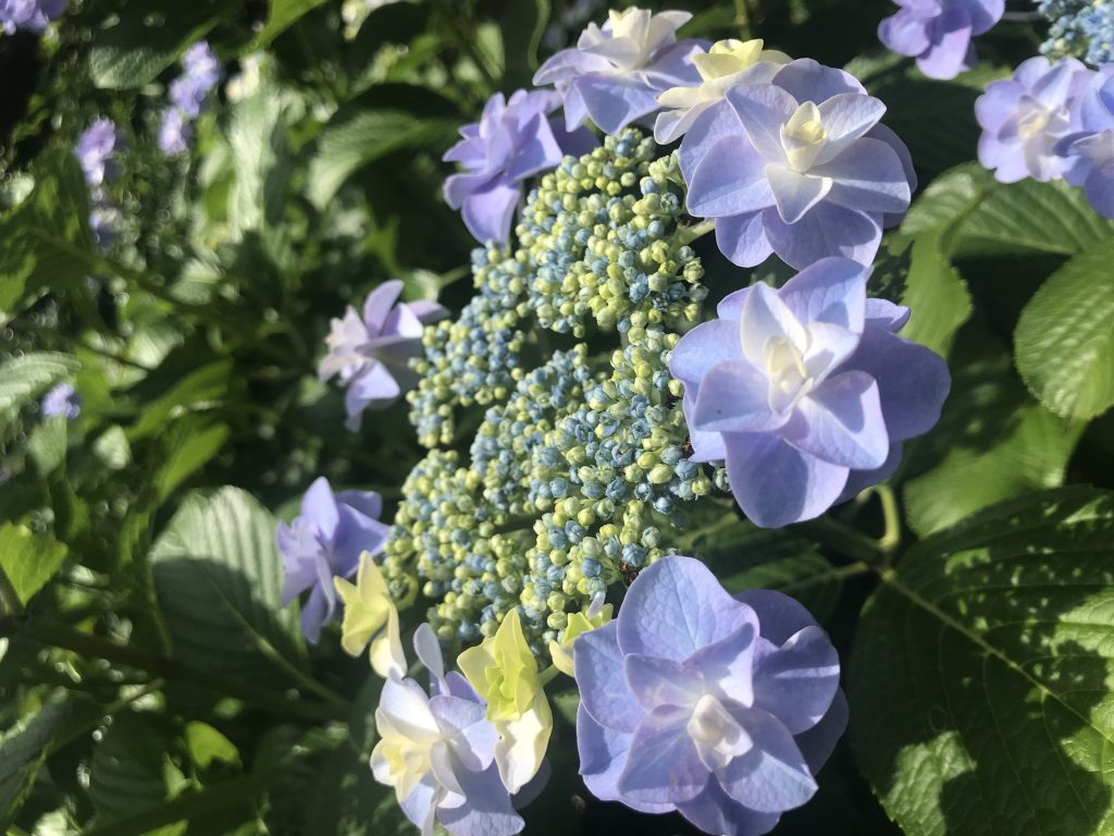 -紫陽花-