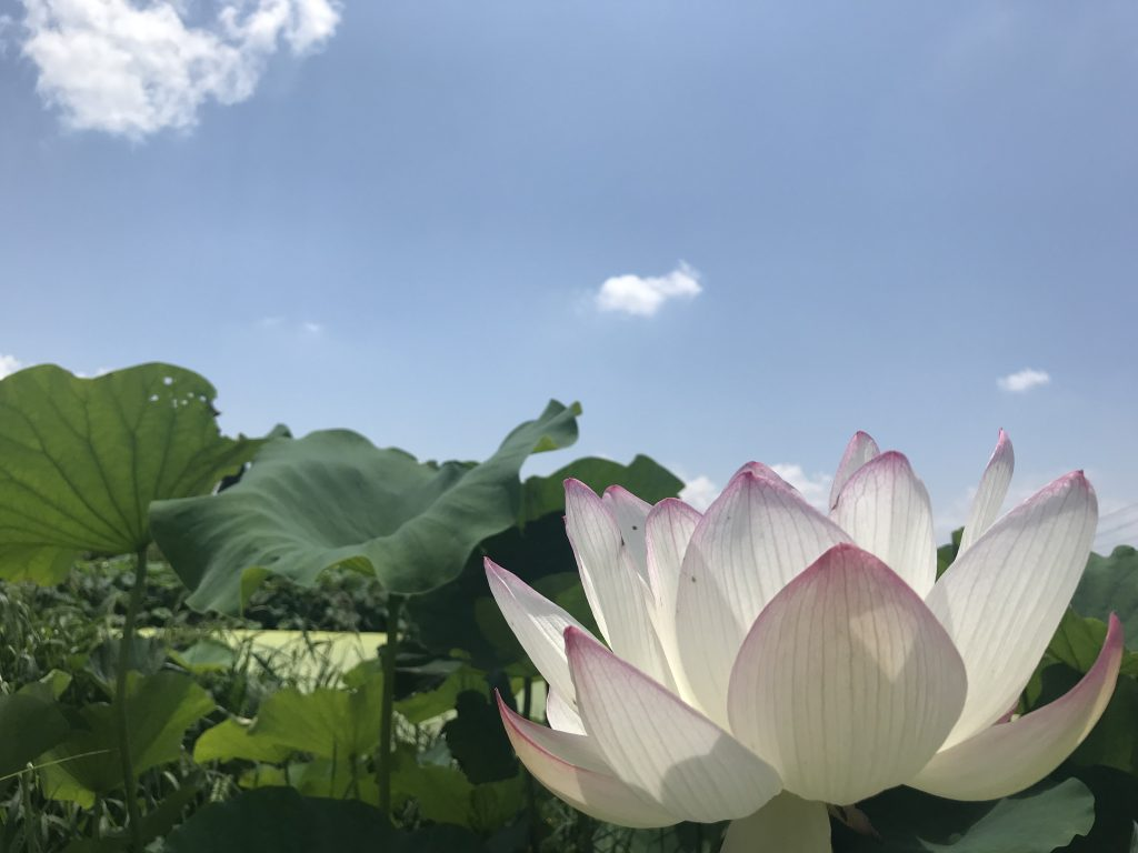 -蓮の花-